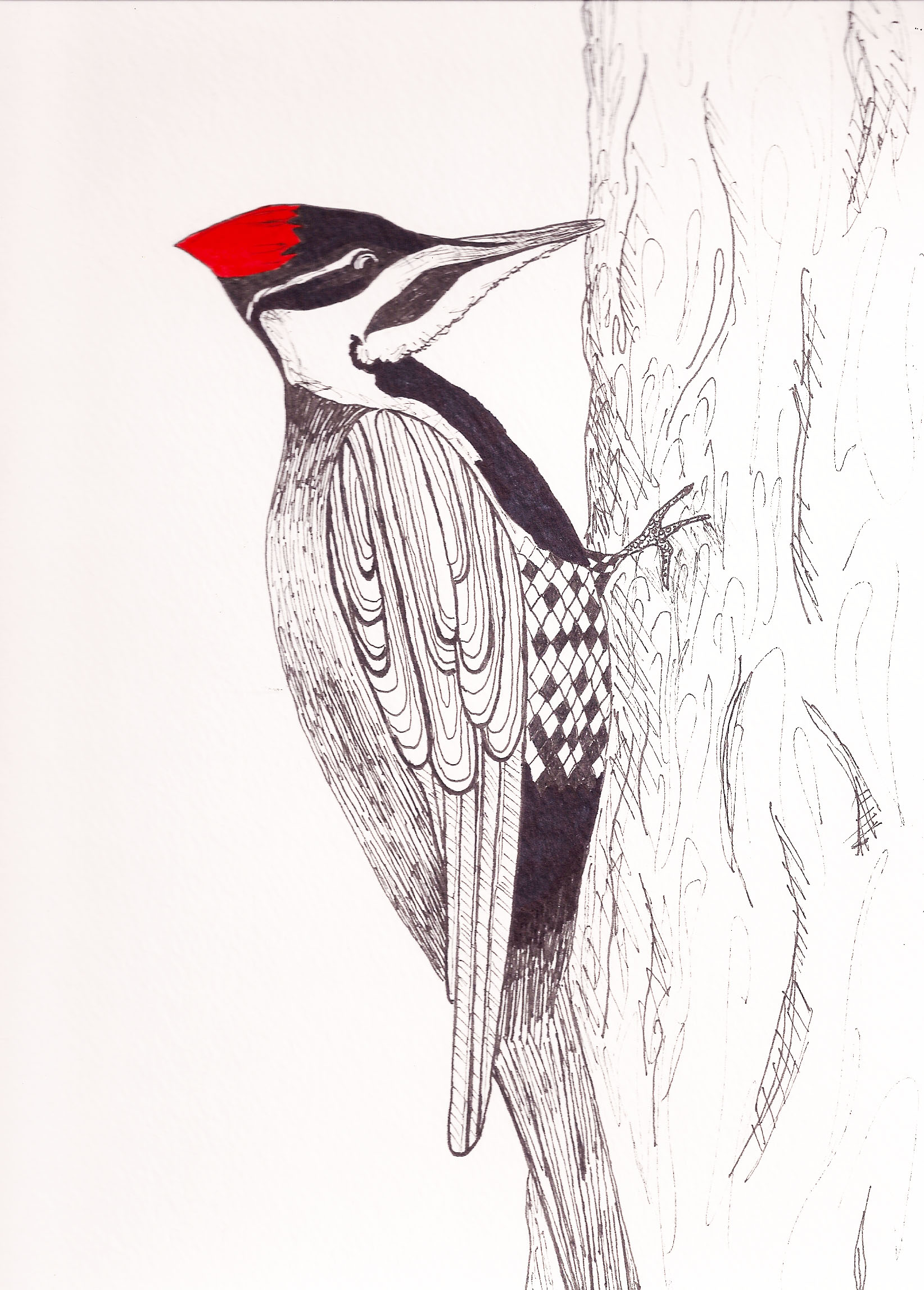 Pileated Woodpecker Drawing pileated woodpecker - ...