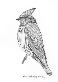 Waxed Cedarwing